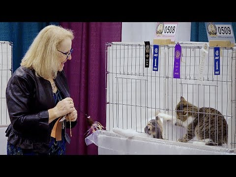 CFA International Cat Show 2018 - Exotic kitten Best of Breed