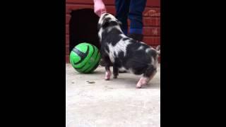 Micro/mini Pig Learning Tricks After 3 Days Of Training