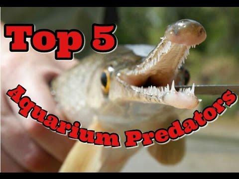 Top 5 Aquarium Predators - Freshwater