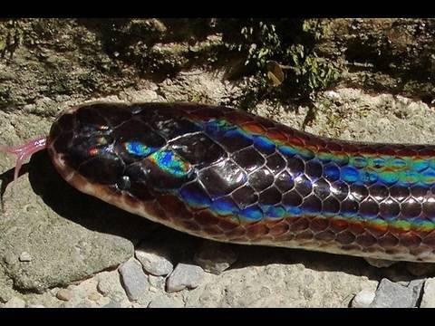 black rainbow snake