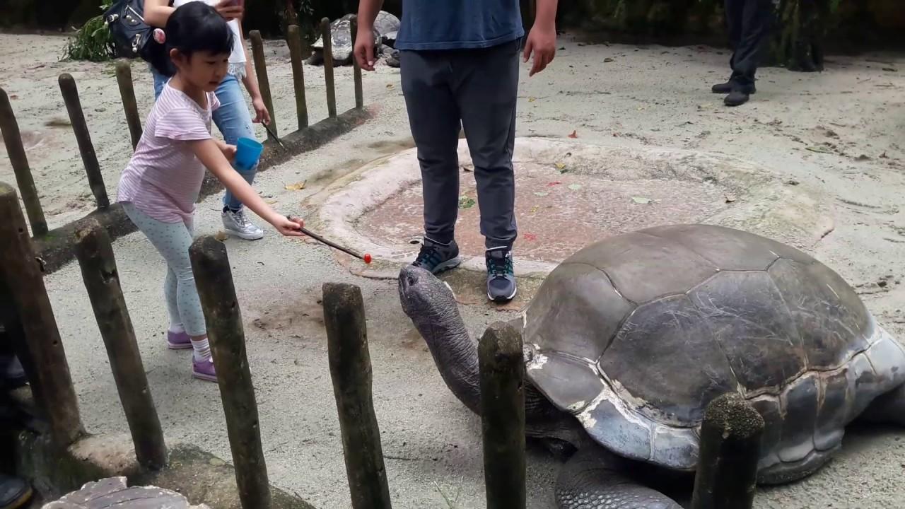新加坡-餵象龜