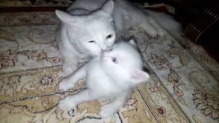 Белая кошка и два белых котёнка.....