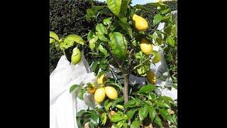 citronnier maladies paraziták