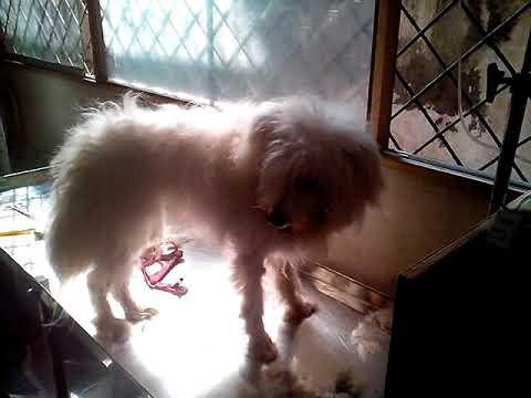 Lahsa Dog @ Vet in Dhaka City Pet Doctor @ Dr. Sagir's Pet Clinic 01912251312