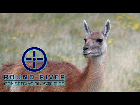 Guanaco in the Chacabuco Valley – Round River Conservation Studies