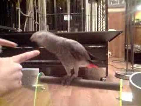 New training session with my african grey Gustav