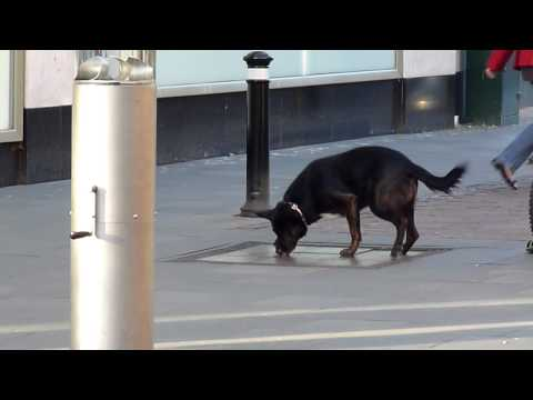 Dog dancing on a musical pavement slab in Bedford, England 13/1/2012