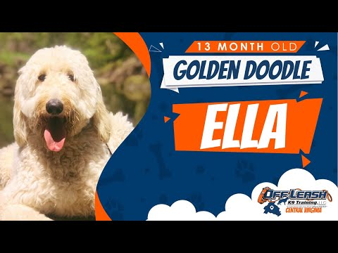 Golden Doodle (Ella) | Virginia's Best Dog Trainers | Off Leash K9 Training