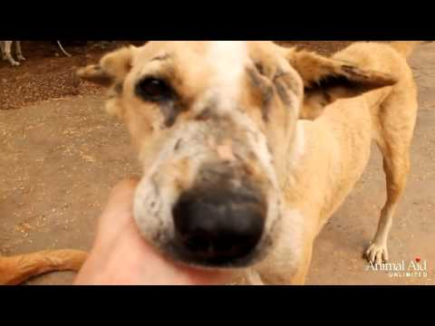Dog Channel - Injured rescue dog Isobel makes fast recovery at Animal Aid Unlimited, India