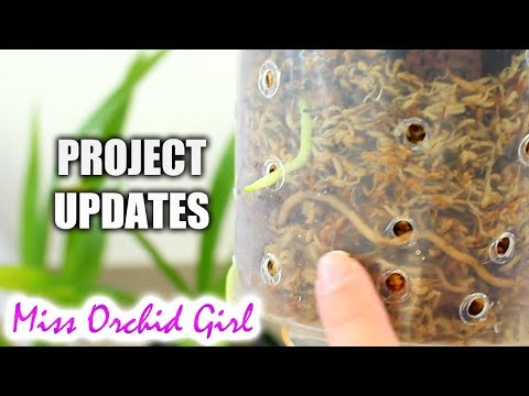 Orchid Projects Updates - Keiki Grow, moss setup & cool growers