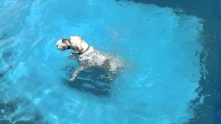 Labrador Retriever Jumping Into The Summing Pool After The Football