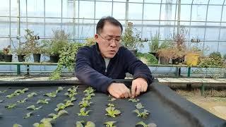 적치마상추 육묘와 농업재배기술