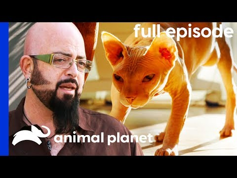 Sphinx Cat Fights Stop Owners From Sleeping | My Cat From Hell (Full Episode)