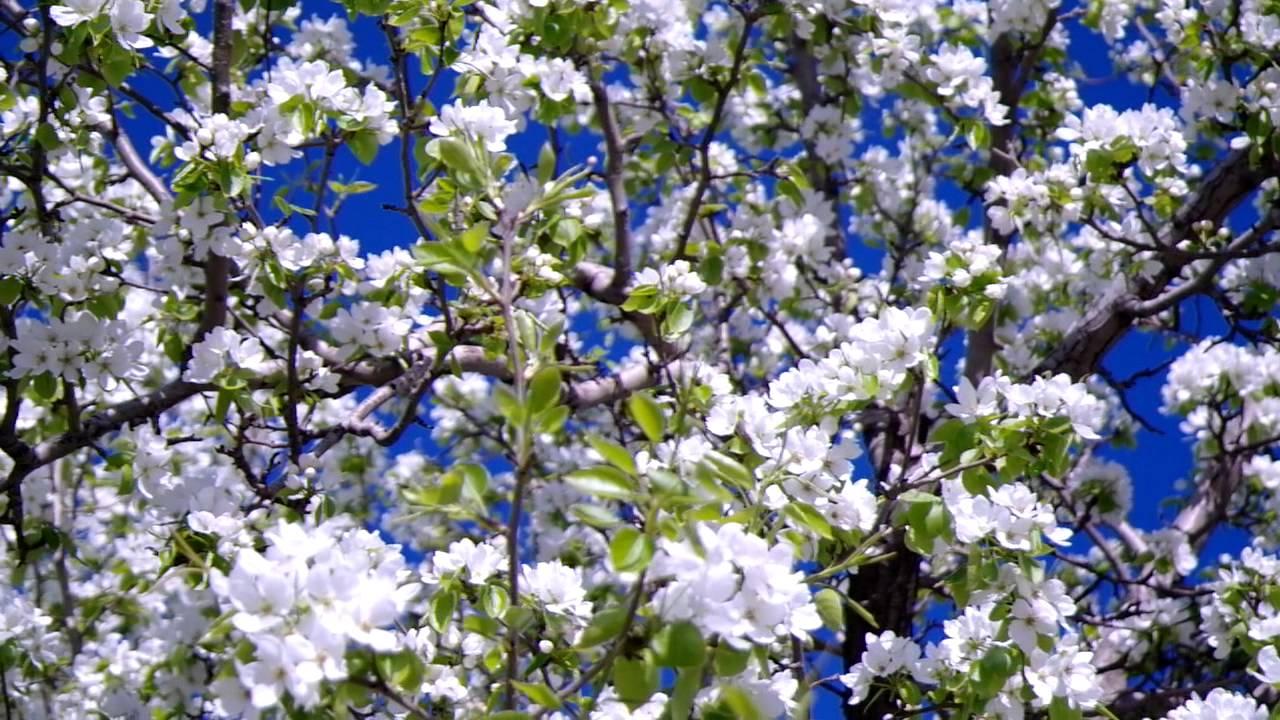 Картинки по запросу яблони в, цвету