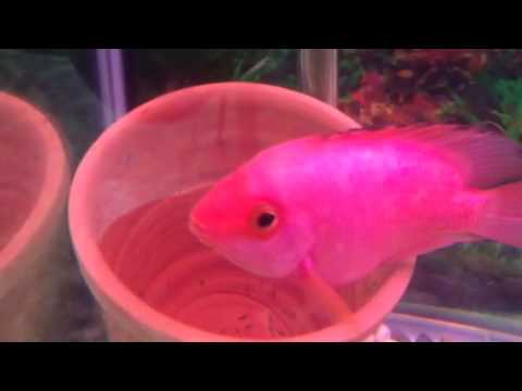 Flowerhorn breed with red parrot fish