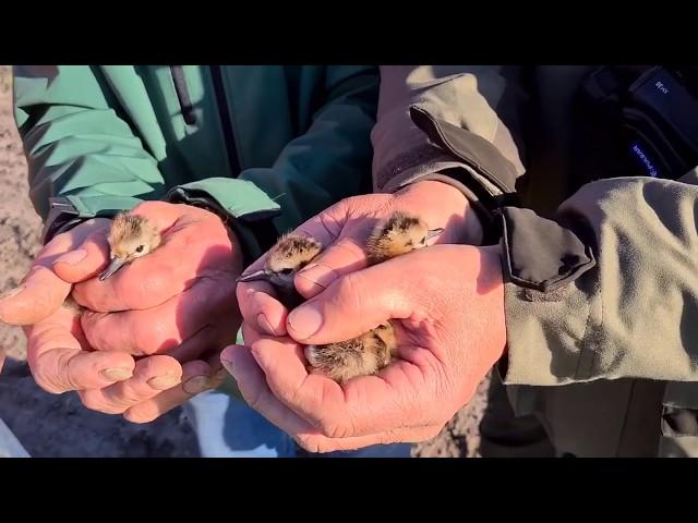 4 gruttokuikens in veiligheid gebracht voor maaimachine