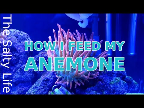 HOW I FEED MY ANEMONE - STEP BY STEP GUIDE