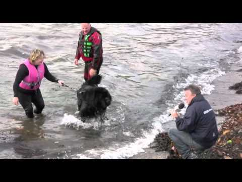Newfoundland Dog Rescue Demonstration