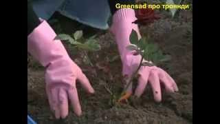 Смотреть видео флорибунда саженец розы корень купленный зимой что с ним делать