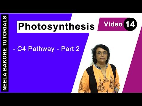 Photosynthesis - C4 Pathway - Part 2