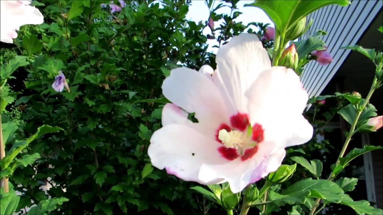 🌹My beautiful Rose of Sharon flower trees🌹 - YouTube