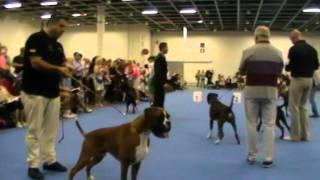 World Dog Show 2014 boxer male junior class 015 Best junior
