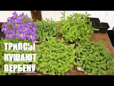 ВЕРБЕНА - Поеденная ТРИПСАМИ ))) Как и когда пикировать Вербену из семян?