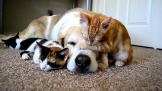CUTENESS OVERLOAD!! A dog sleeping with his KITTENS