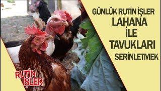 KÜMESTE GÜNLÜK RUTİN İŞLER 👷♂️ Lahana İle Tavukları Serinletmek.mp3