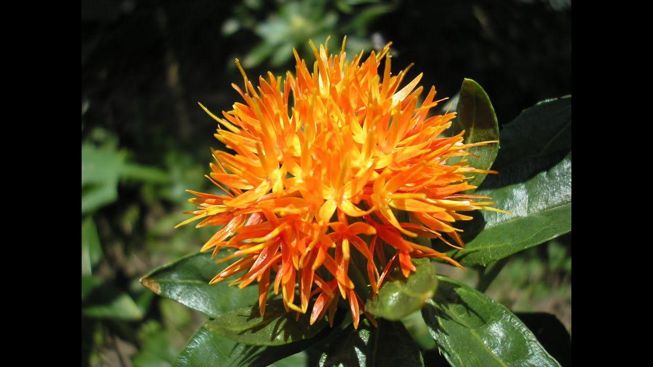 How to plant safflower seeds. fake safron - YouTube