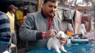 Dog Sellers At Kolkata Galiff Street Pet Market P-7