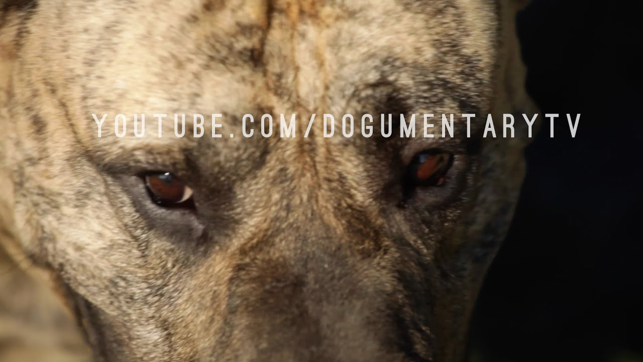 Presa Canario The Catch Dog From The Canary Islands