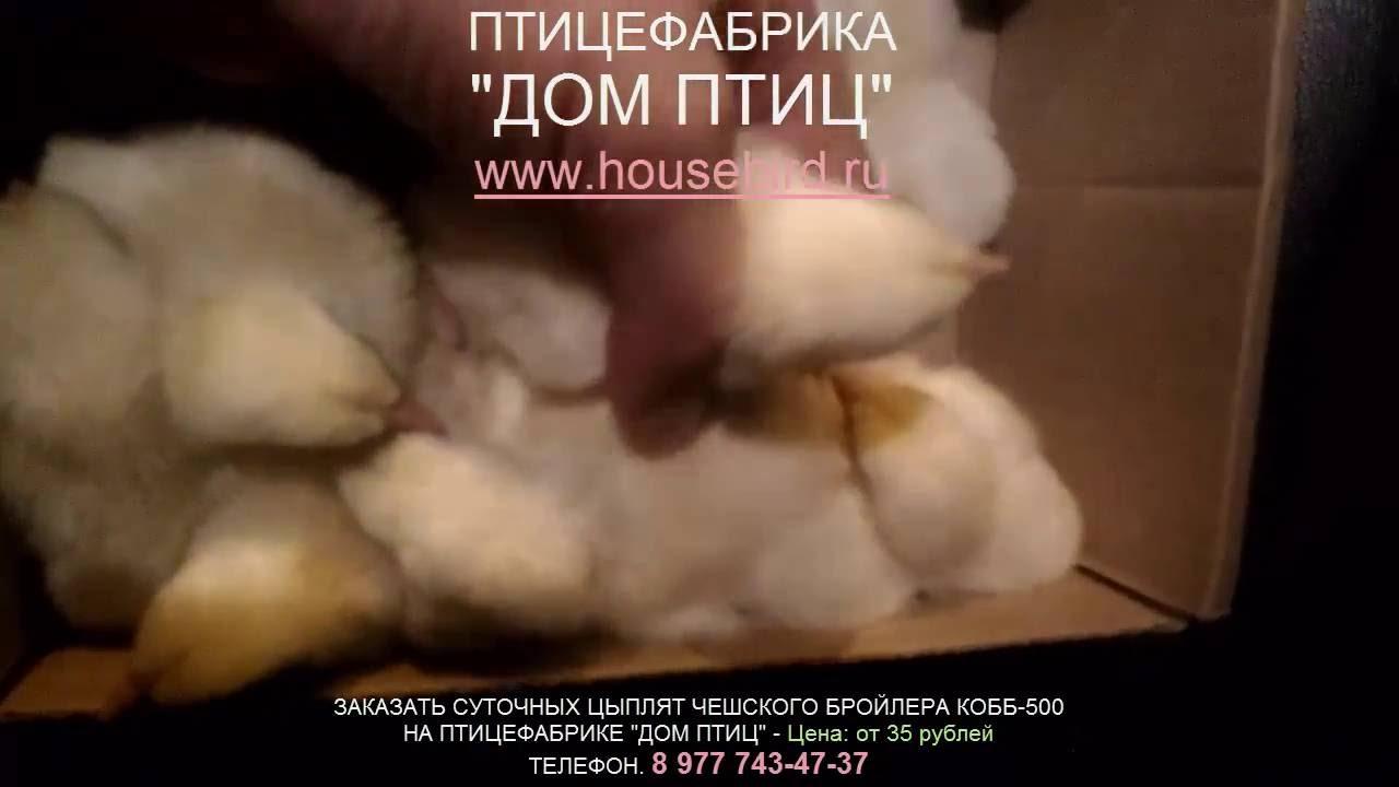 Суточные цыплята ЛОМАН БРАУН обязательно пропаиваю. \Day-old .