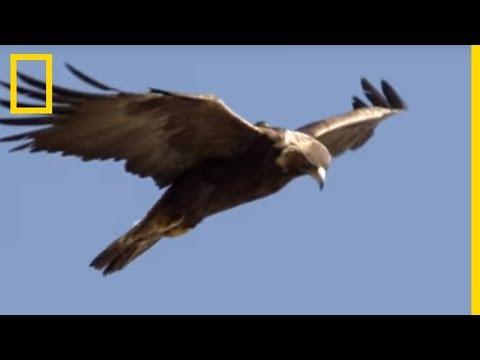 Rare : l'attaque de l'aigle royal