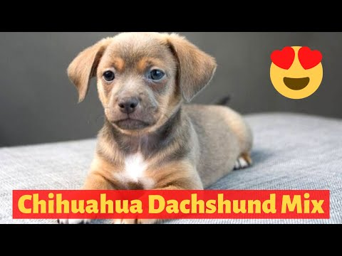 All About The Chihuahua Dachshund Mix (Chiweenie)  Should You Get A Chiweenie For Your Family?