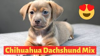 All about The Chihuahua Dachshund mix (Chiweenie)| Should you get a Chiweenie for your family?
