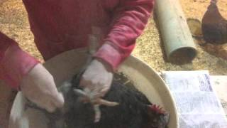 How to treat chickens for lice or mites with poultry permethrin dust.