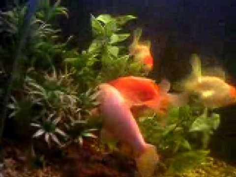 Goldfische beim laichen doovi for Fische miniteich
