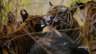 Dynasties: Tiger | Saturdays at 9pm | BBC America