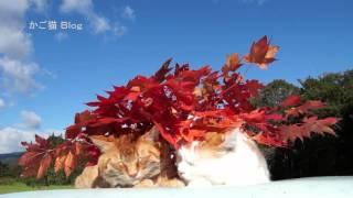 のせ猫 x 紅葉 Autumn leaves