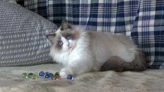 もふもふラグドール猫の〜かわいい遊び仕草[Ragdoll cat Ruu #243]Gesture of the pretty play of the fluffy cat thumbnail