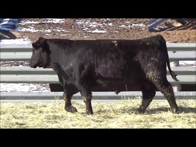 Connealy Angus Lot 95