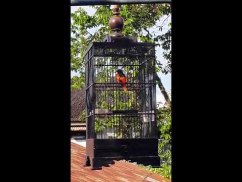 Burung Mantenan / Sepah Hutan Budi Figo Samarinda