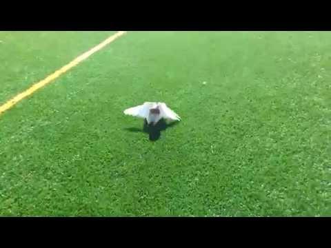 Birmingham Roller pigeons rolling 03459442750 Zain Ali