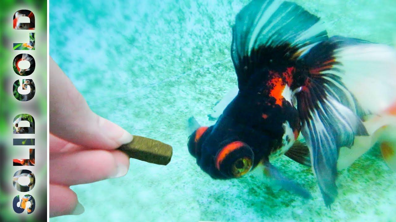 Handfeeding My Hungry Goldfish Underwater Camera Youtube