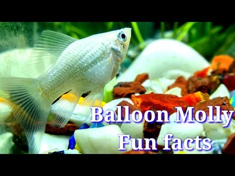 Balloon Molly Fish Fun Facts