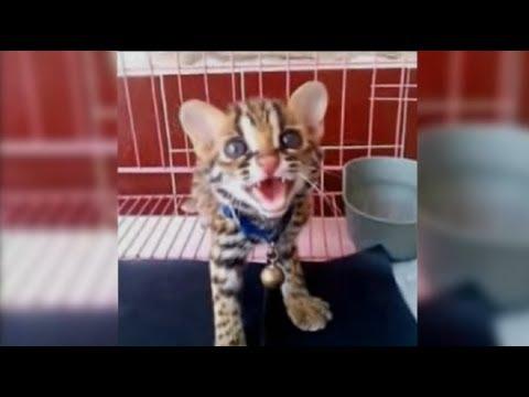 Menjinakkan Kucing Hutan super galak || Blacan Asian leopard cat