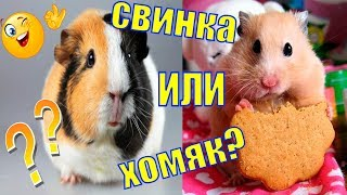 Чем отличается морская свинка и хомяк/хомячок или морская свинка/кто лучше хомяк или морская свинка