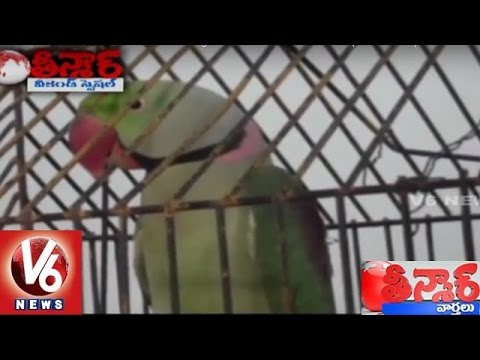 Talking Parrot arrested for scolding a woman | Weekend Teenmaar News | V6News