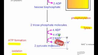 Cellular Respiration Part 2   Glycolysis IB Biology